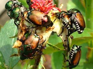 Japanese beetles ravage a rose.