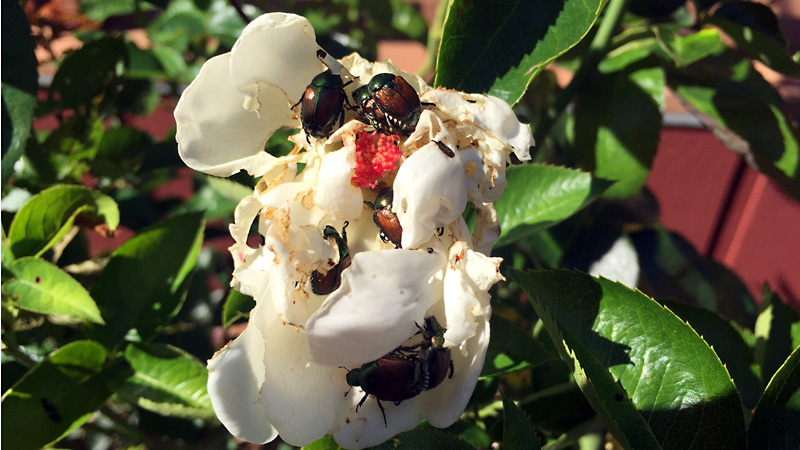 Japanese beetles cover a white rose