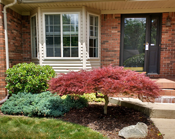 red japanese maple and low-lying blue juniper in front of porch of red-brick house