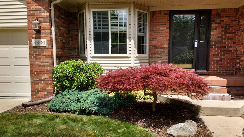 Japanese Maple tree in front courtyard, after pruning.