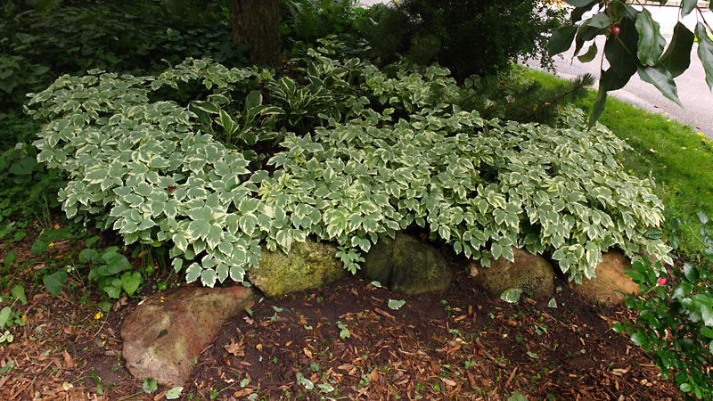 Lamium ground cover under tree, after weeding