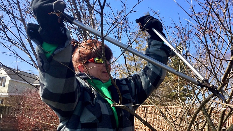 Woman using loppers to prune bush in early spring